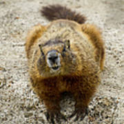Yellow-bellied Marmot   #5300 Art Print