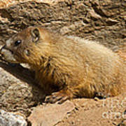 Yellow Bellied Marmot Checking Out The Neighborhood In Rocky Mountain National Park Art Print