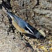 Yellow Bellied Nuthatch Art Print