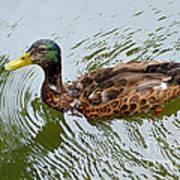 Yellow Billed Duck Art Print