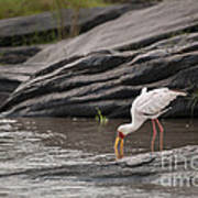 Yellow-billed Stork Fishing In River Art Print