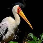 Yellow Billed Stork Peers At Camera Art Print