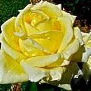 Yellow Bob Berry Rose Art Print