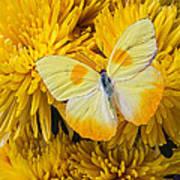Yellow Butterfly On Yellow Mums Art Print