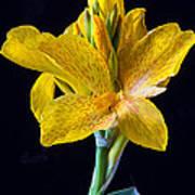 Yellow Canna Flower Art Print