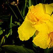 Yellow Canna Singapore Flower Art Print