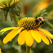 Yellow Coneflower And Bee Art Print