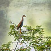 Yellow-crowned Night Heron Swaying In The Wind Art Print