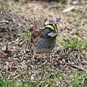 Yellow Crowned Sparrow Art Print