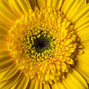 Yellow Daisy Close Up Art Print