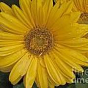 Yellow Daisy Art Print