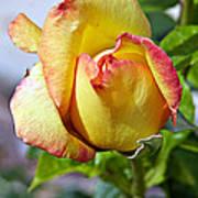 Yellow Edged In Pink Rose Art Print