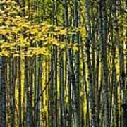 Yellow Fall Birch Leaves Against An Art Print