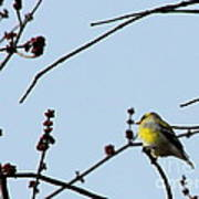 Yellow Finch In Spring Art Print
