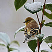 Goldfinch On Branch Art Print
