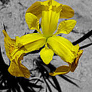 Yellow Flower Art Print by Joshua Lucas