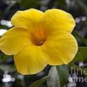 Yellow Flower Of Golden Trumpet Vine Art Print