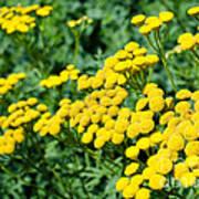 Yellow Flowers 3 Art Print