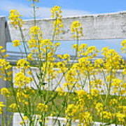 Yellow Flowers And A White Fence Art Print