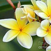 Yellow Frangipani Flowers Art Print
