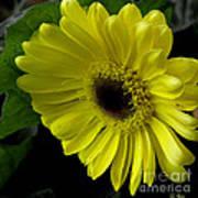 Yellow Gerbera Daisy  Art Print
