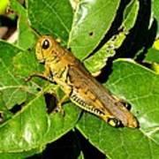 Yellow-green Grasshopper Art Print