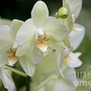 Yellow-green Phalaenopsis 8837 Art Print