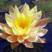 Yellow Hardy Water Lily Art Print