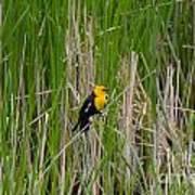 Yellow Headed Blackbird Art Print