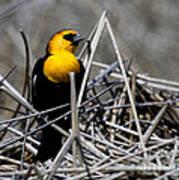 Yellow-headed Blackbird Art Print