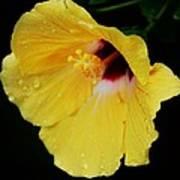 Yellow Hibiscus In The Rain Art Print