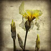 Yellow Iris - Vintage Colors Art Print