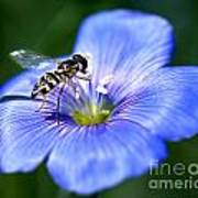 Blue Flax Flower Art Print