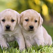 Yellow Labrador Puppies Art Print