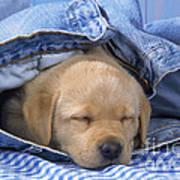 Yellow Labrador Puppy Asleep In Jeans Art Print