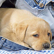 Yellow Labrador Puppy In Jeans Art Print