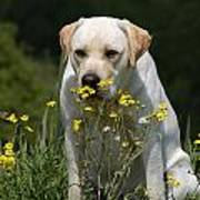 Yellow Labrador Retriever Dog Smelling Yellow Flowers  Art Print