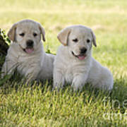 Yellow Labrador Retriever Puppies Art Print by Linda Freshwaters Arndt