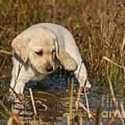 Yellow Labrador Retriever Puppy Standing In Water Art Print