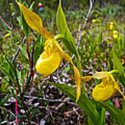 Yellow Lady Slippers Along Emerald Lake Trail In Yoho Np-bc Art Print