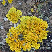 Yellow Lichen Art Print