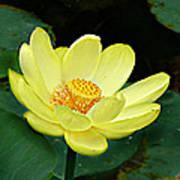 Yellow Lotus Art Print