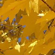 Yellow Maple Leaves Art Print