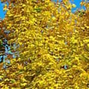 Yellow Maple Art Print