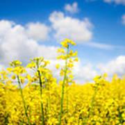 Yellow Mustard Field Art Print