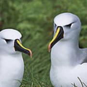 Yellow-nosed Albatross Pair Gough Island Art Print