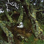 Yellow-nosed Albatrosses In Ferns Art Print