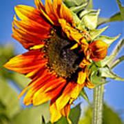 Yellow Orange Sunflower Art Print