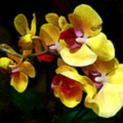 Yellow Orchids Shadow And Light Art Print