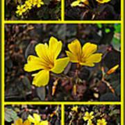 Yellow Oxalis - Oxalis Spiralis Vulcanicola Art Print